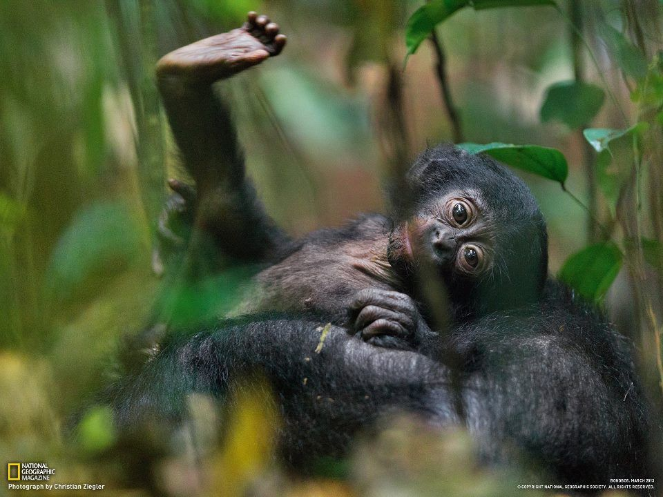 In a remote forest of the Democratic Republic of the Congo, young bonobos play together../ National Geographic