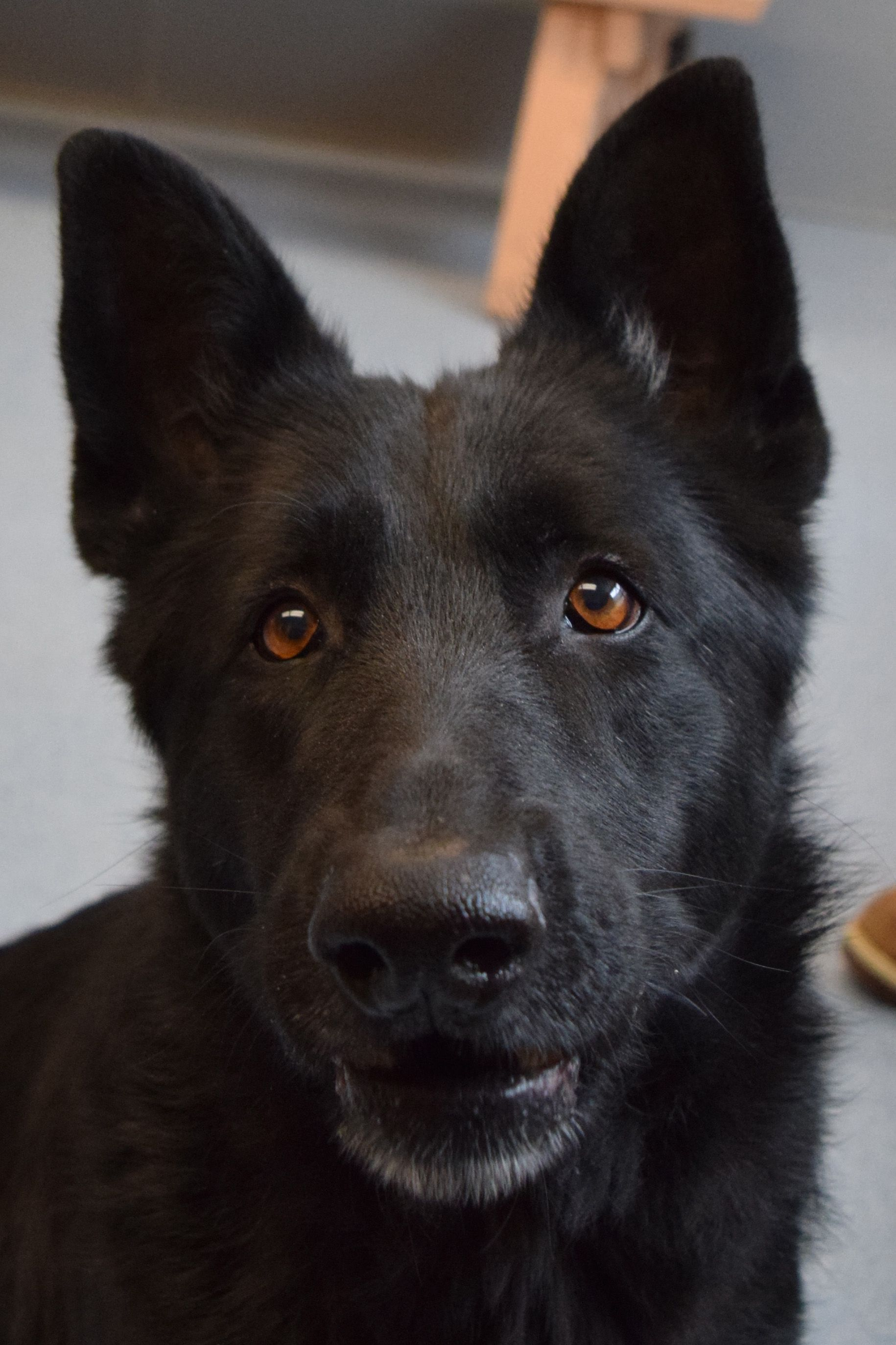 German Shepherd Dogs Image By Islip Animal Shelter And Adopt On