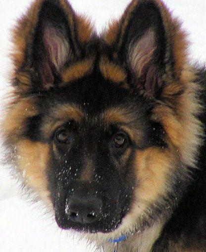 Altdeutsche Schaferhunde Vom Mohnesee Vom Schwarzen Traum Welpen Schaferhunde Hunde Welpen Altdeutscher Schaferhund