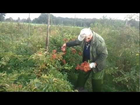 "Harvesting thornless rosehips ""Sanne"". Bij kwekerij De Pol."
