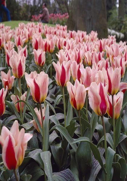 Mary Ann Bulbs Tulips Bulbs Mary Ann Buy Tulips Flower Bulbs Online Bloms Bulbs Uk An Award Win Tulip Bulbs For Sale Bulb Flowers Spring Blooming Flowers