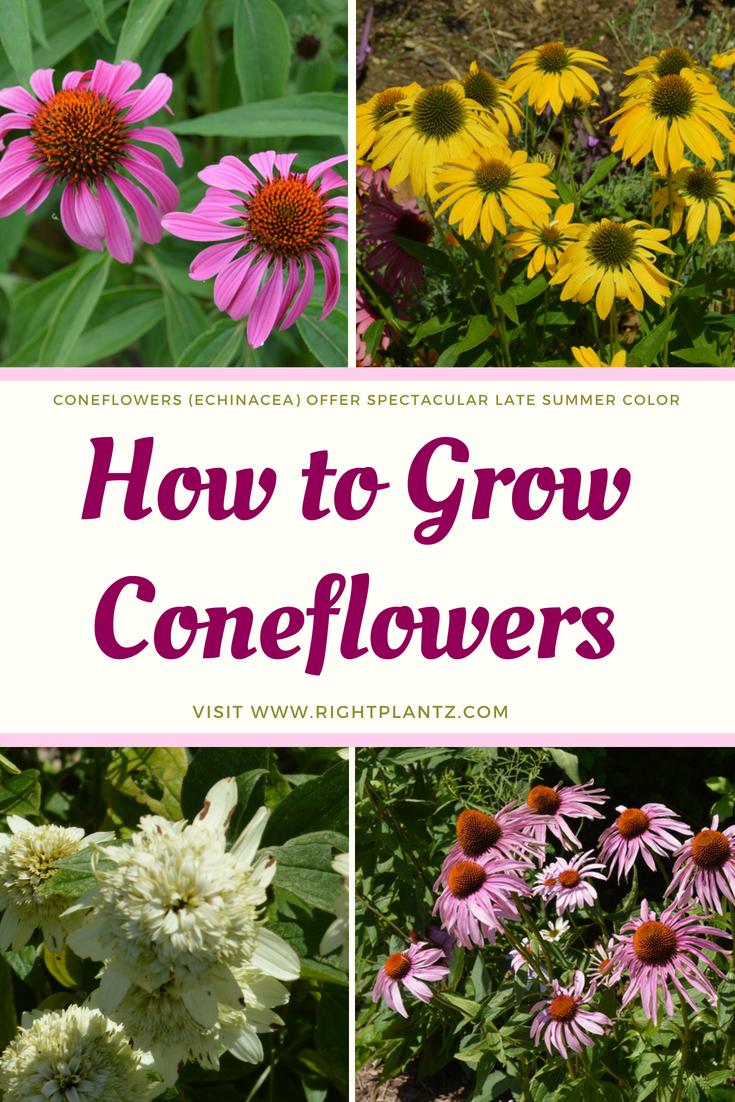 Crazy For Coneflowers Garden Blogs Pinterest Late Summer
