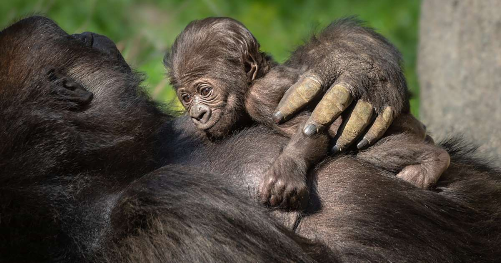 L A Zoo S First Gorilla Baby In Over 20 Years Is A Cute Clingy Mama S Girl In 2020 Baby Gorillas Zoo Babies Western Lowland Gorilla