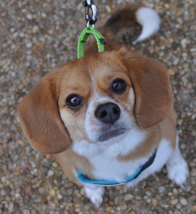 Dog For Adoption Jeffrey A Pug Beagle Mix In Atlanta Ga