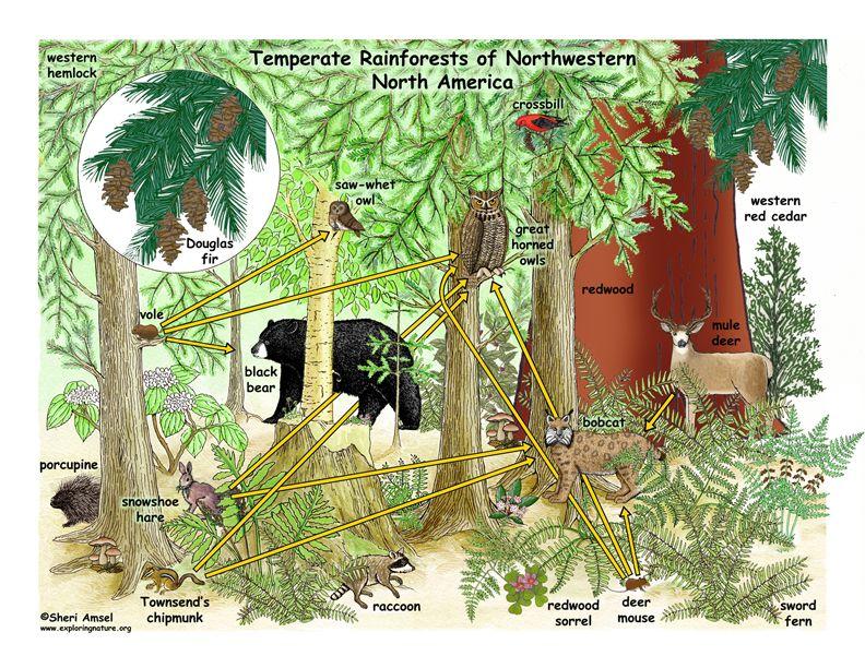 Temperate Rainforest Food Web Rainforest, Temperate