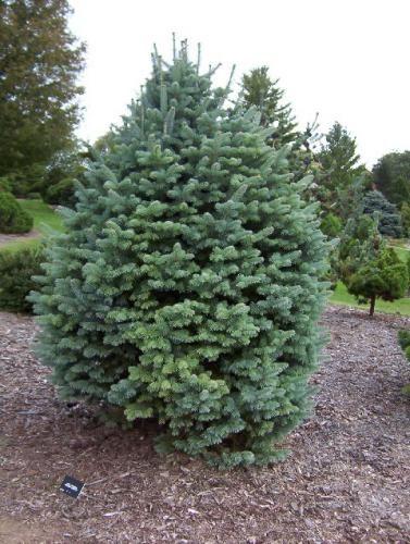 Richs Foxwillow Pines Nursery Inc Abies Lasiocarpa Arizonica