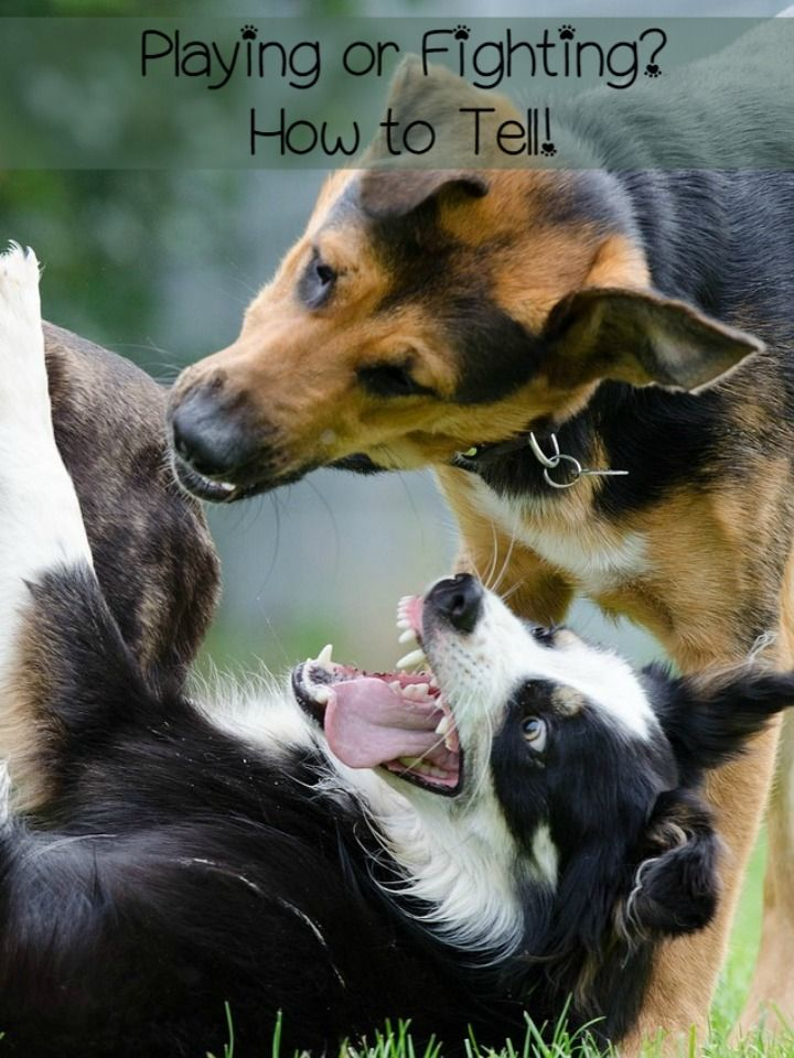 How to Tell if Your Dogs Are Playing or Fighting Dog