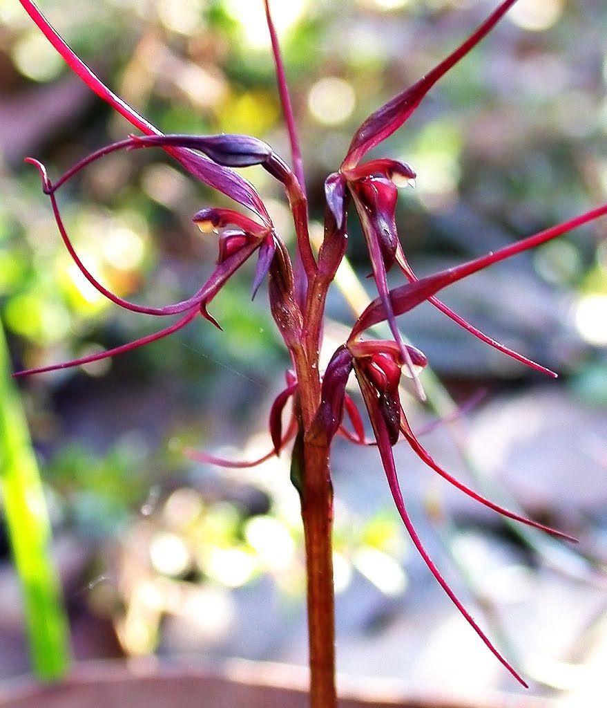 Mayflyorchidsepbcg australian terrestrial orchids