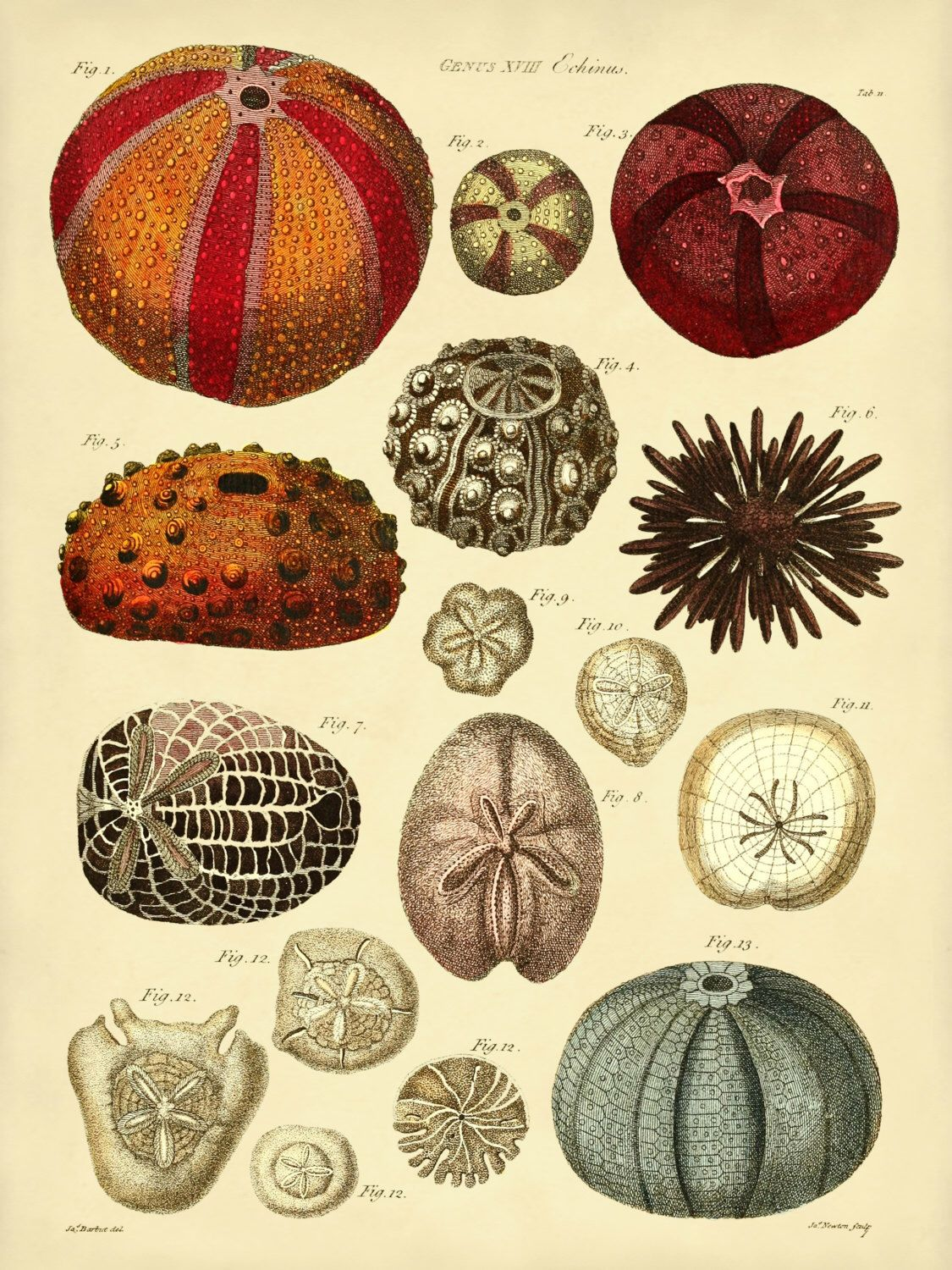 Sea Urchins Art Print, Sea Urchins Poster From Vintage Scientific ...