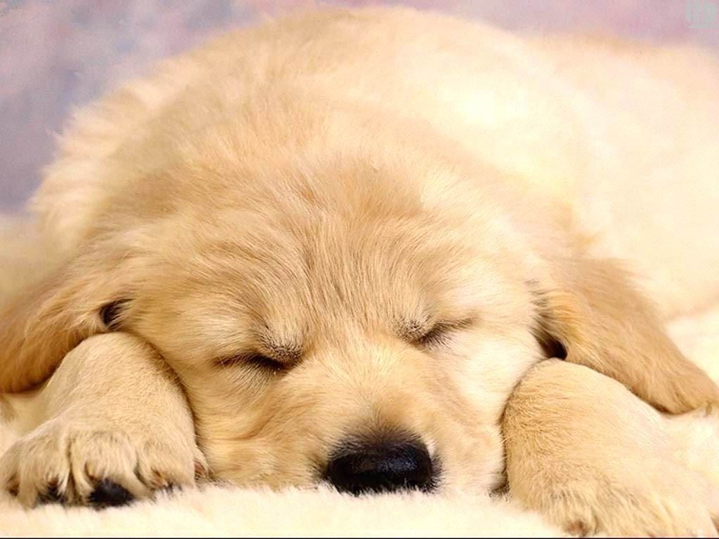 10 Most Popular Puppies Wallpapers Free Download Full Hd 1920 1080 For Pc Background Sleeping Puppies Cute Dog Wallpaper Sleeping Dogs