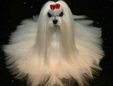 San Fernando Kiss Me Maltese Dogs Maltese Dogs Puppies