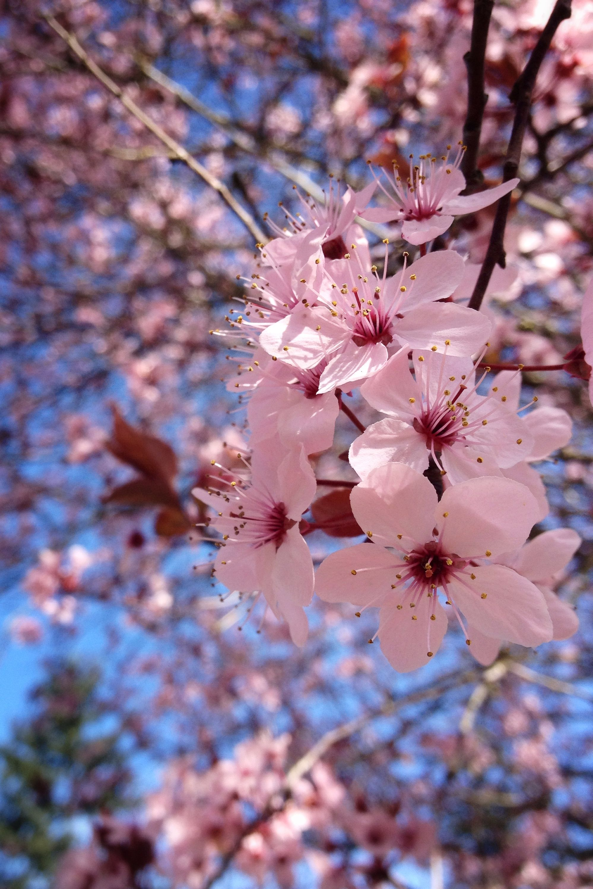 Cherry Blossoms Pretty Flowers Photography Beautiful Flowers Wallpapers Flower Phone Wallpaper