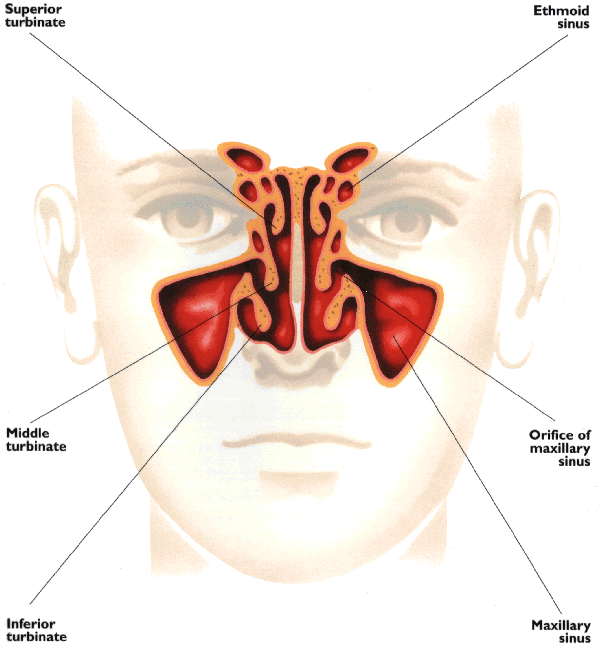 Sinus congestion diagram google search advil sinus congestion sinus congestion diagram google search ccuart Image collections