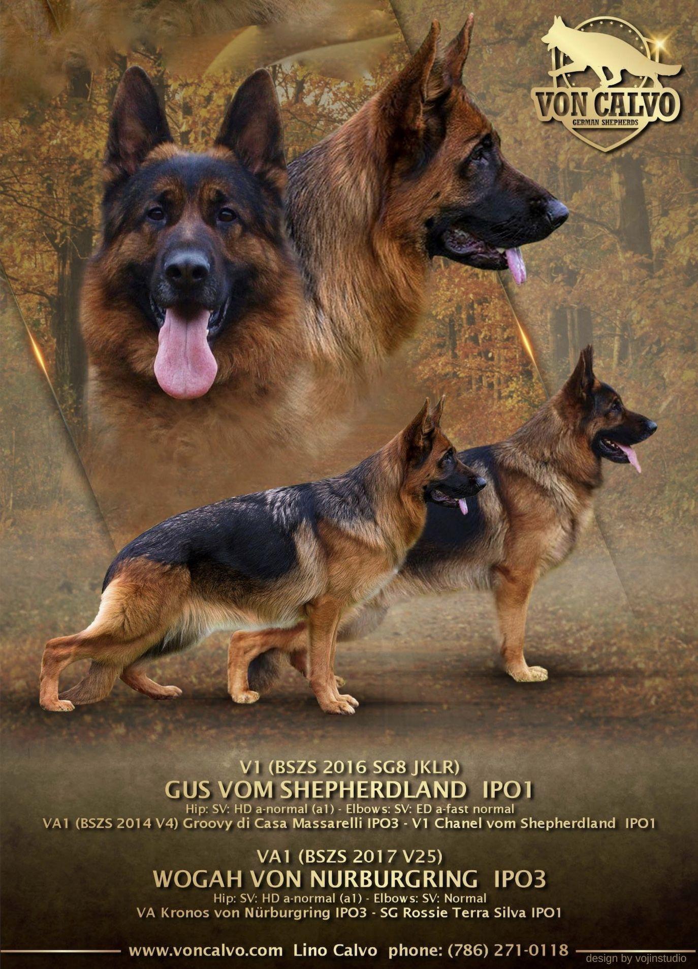 Champion Line German Shepherds Visit Our Site Www Voncalvo Com