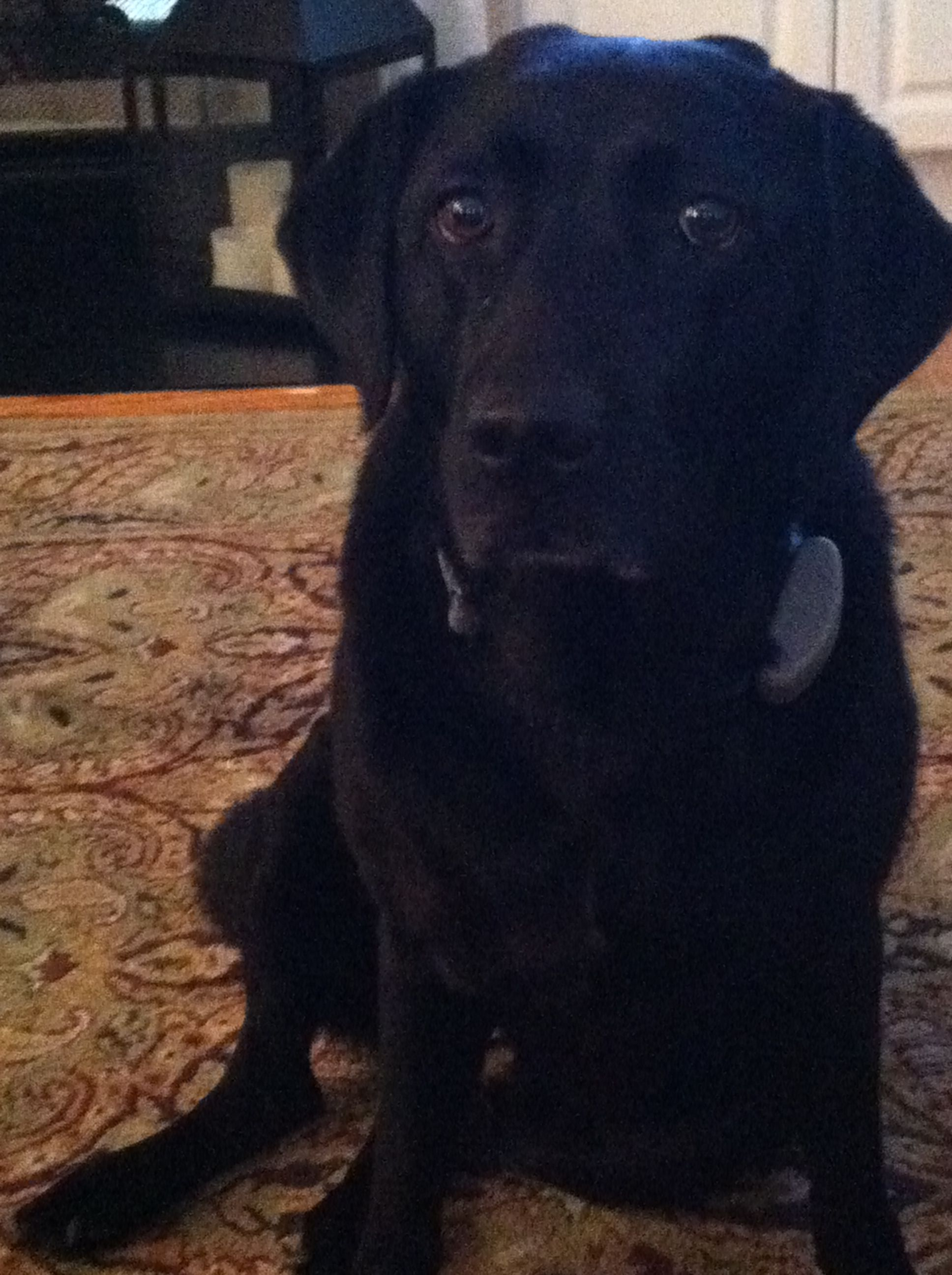 Black lab Pitbull terrier, Black labs, Dog pictures