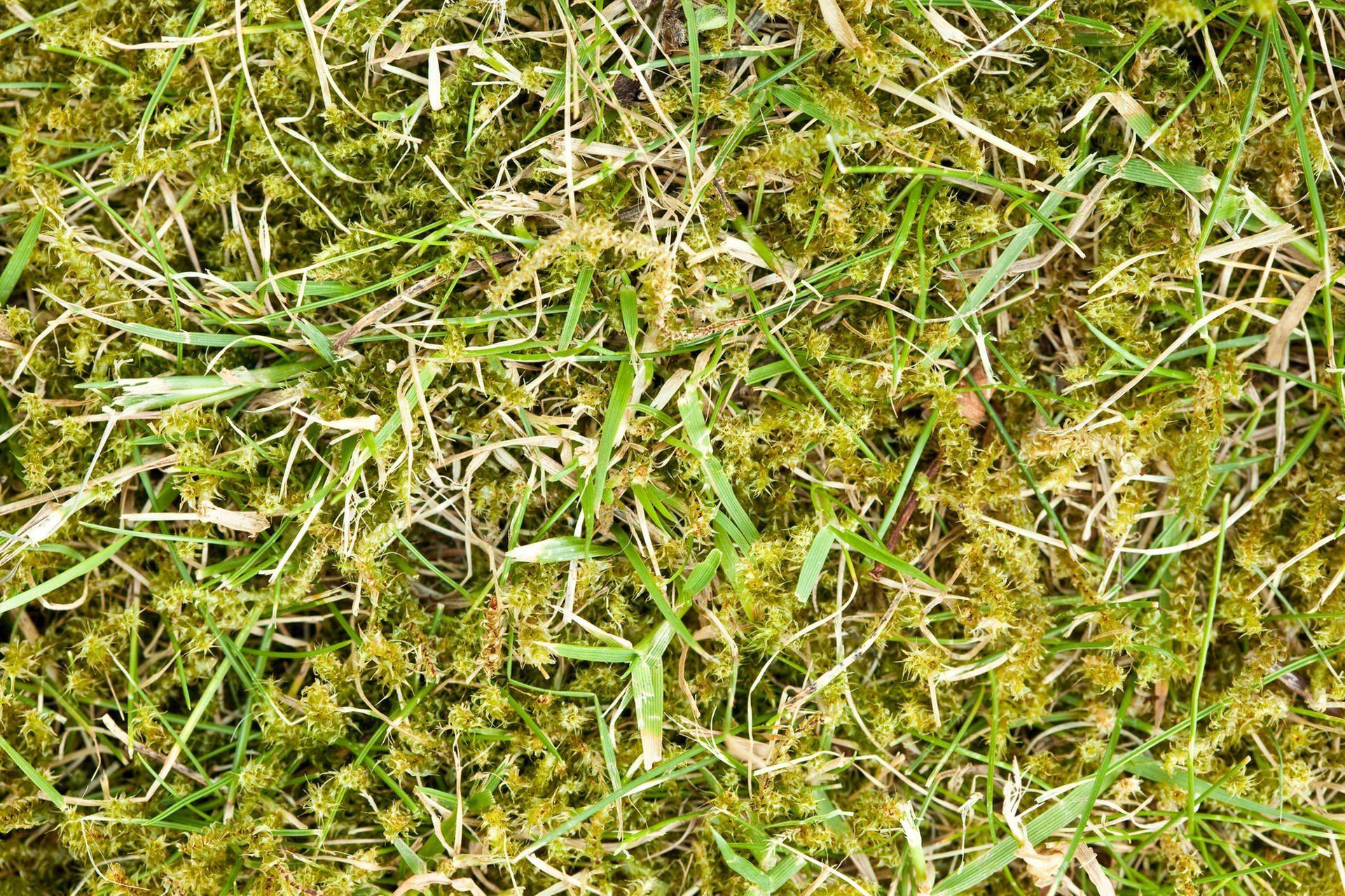 Moos Im Rasen Dauerhaft Entfernen Bezuglich Was Tun Gegen Moos Im Garten Dein Zuhause Hervorheben Von Was Tun Gegen Moos Im Gart Green Lawn Lawn Garden Drawing