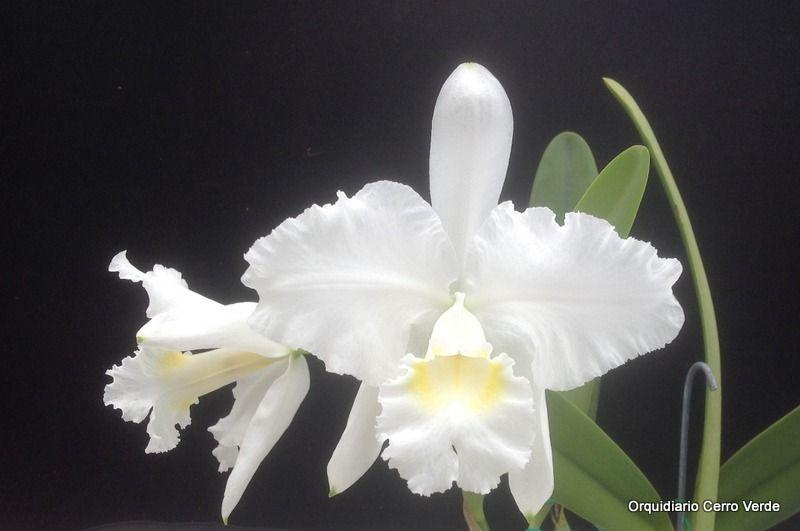 Cattleya Lueddemanniana Candelaria X Morocha Cattleya Cattleya Orchid Orchid Pot