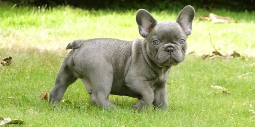Grey Frenchie Miniature French Bulldog French Bulldog Blue