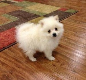 Cute And Playful Pomeranian Puppies For Adoption. Puppy