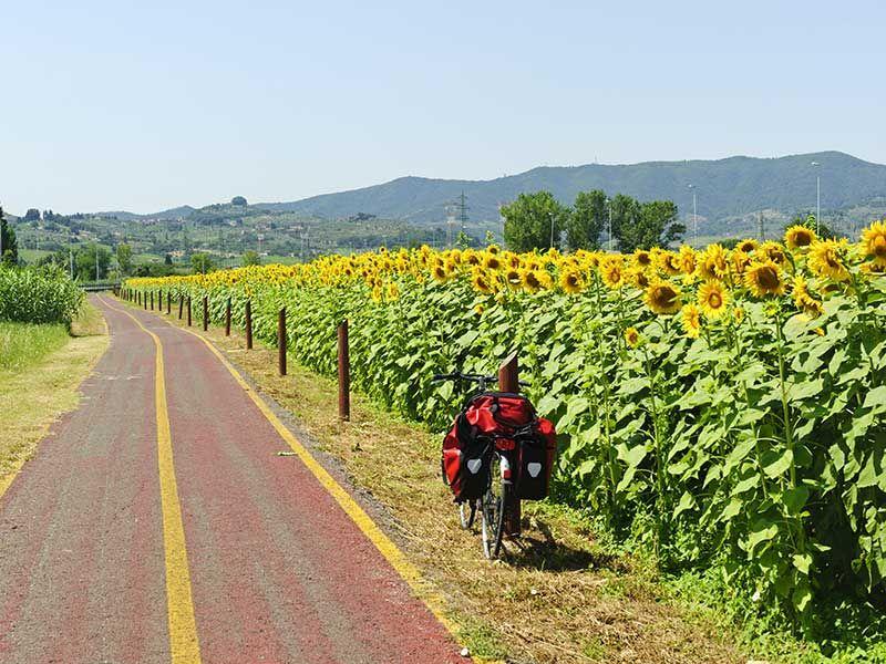 Toscana -  cycling  along the  sunflowers fields in Poggio a  Caiano (prov.Prato)