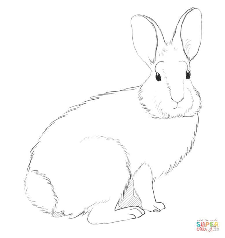 Cottontail Rabbit Coloring page | Free Printable Coloring Pages ...
