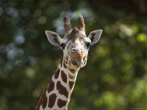 Giraffe Sticks its Tongue Out at the Camera