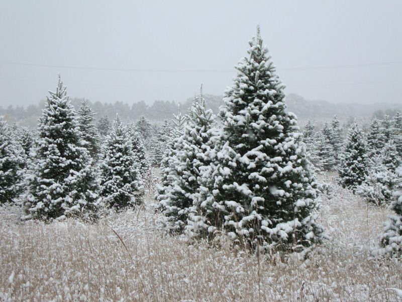 Good Cut Your Own Christmas Tree Mn Part - 9: This Pic Isnu0027t Rudolphu0027s, But Rudolphu0027s Christmas Tree Farm In Royalton MN!