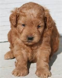 Image Detail For Miniature Poodles Puppies To Adults For Sale In