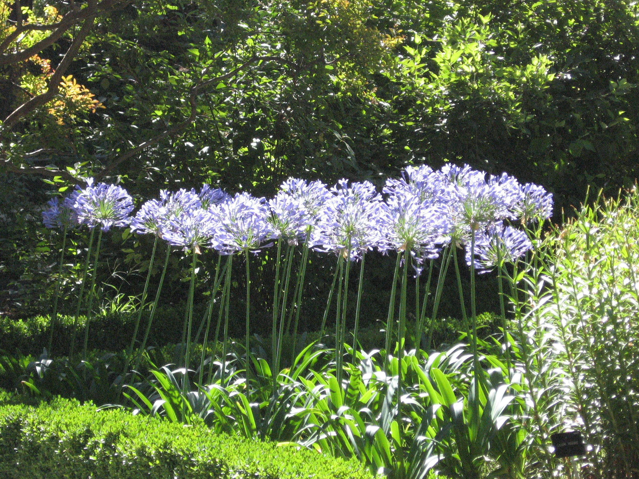 Agapanthus africanus storm cloud blue lily of the nile more agapanthus this time agapanthus africanus looking so jolly in the sunlight izmirmasajfo Images