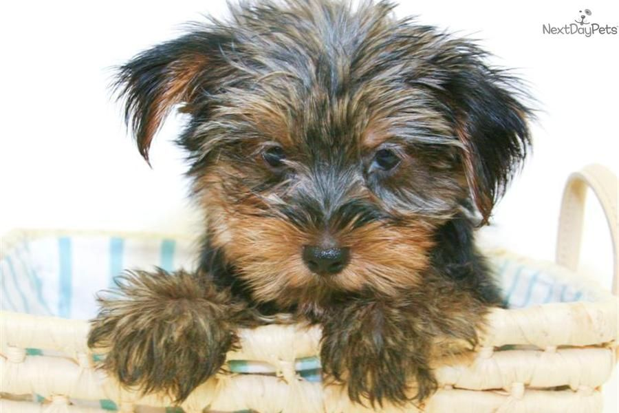 Meet Tucker A Cute Morkie Yorktese Puppy For Sale For 499 Teacup Tucker Our Male Morkie Under 5lbs Morkie Designer Dogs Breeds Puppies For Sale
