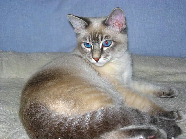 Snow Tiger Siamese Tabby Point Siamese Siamese Kittens Siamese Cats Facts Pretty Cats