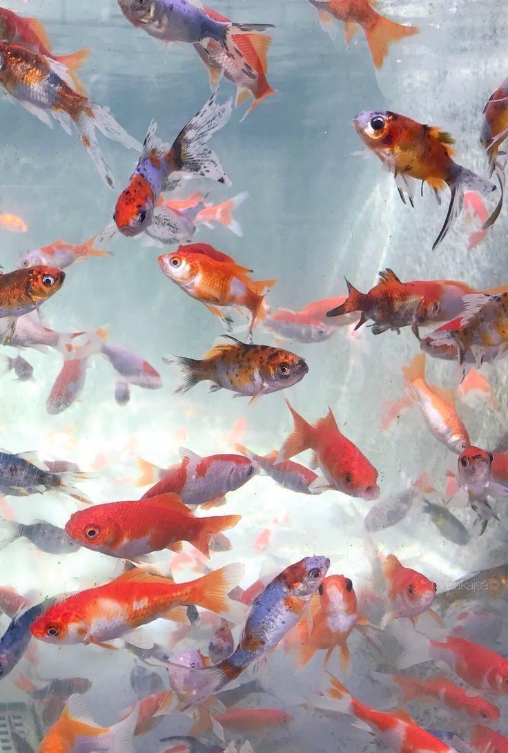 Iphone Und Android Wallpapers Aquarium Fish Wallpaper Fur Iphone Und Android In 2020 Fish Wallpaper Android Wallpaper Aesthetic Iphone Wallpaper