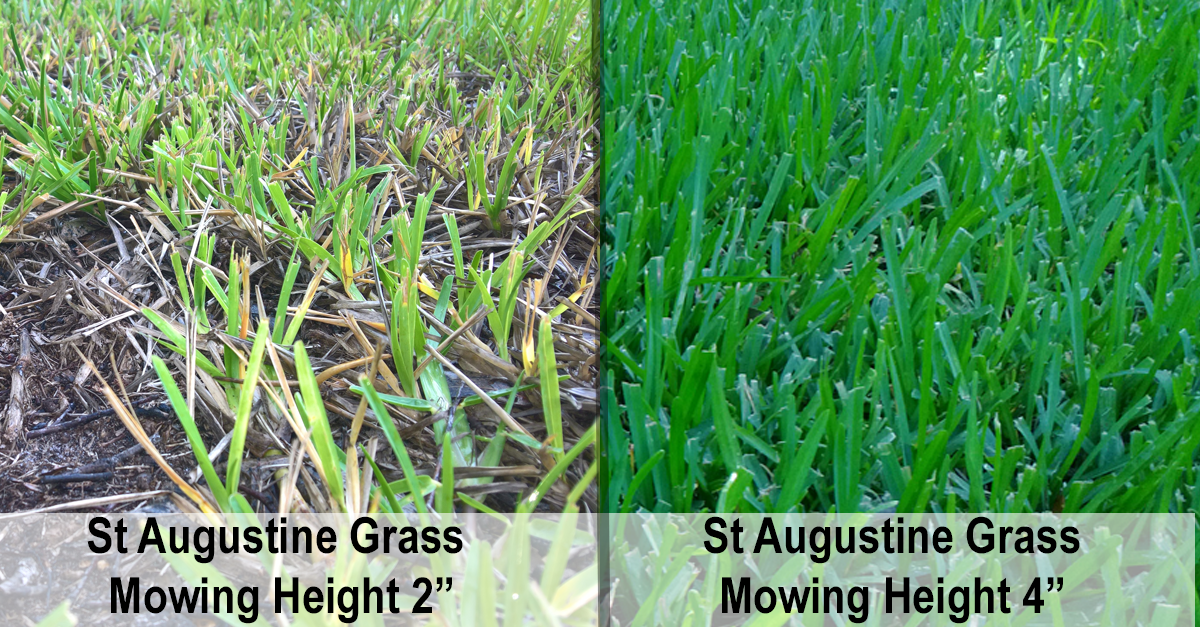 The best mowing height for St Augustine turf grass lawns is