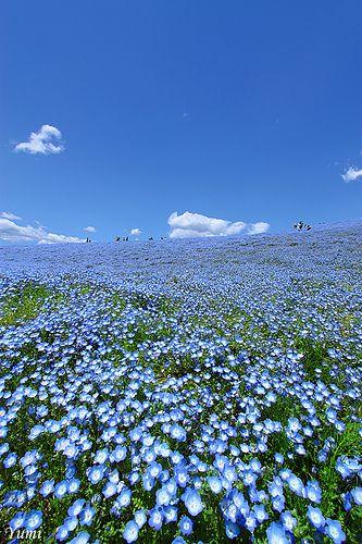 Nemophila (called Baby Blue Eyes here in California), Hitachi Seaside Park, Ibaraki, Japan