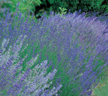 Lavender Patch