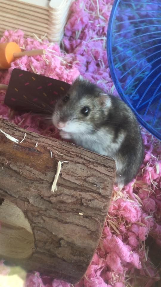 My Winter White Russian Hybrid Dwarf Hamster Po. Roughly 1 1/2 - 2 Years Old