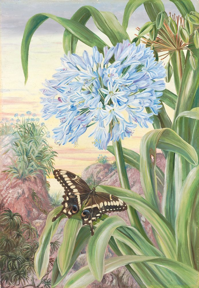 357. Blue Lily and large Butterfly, Natal. Prints by Marianne North | Magnolia Box