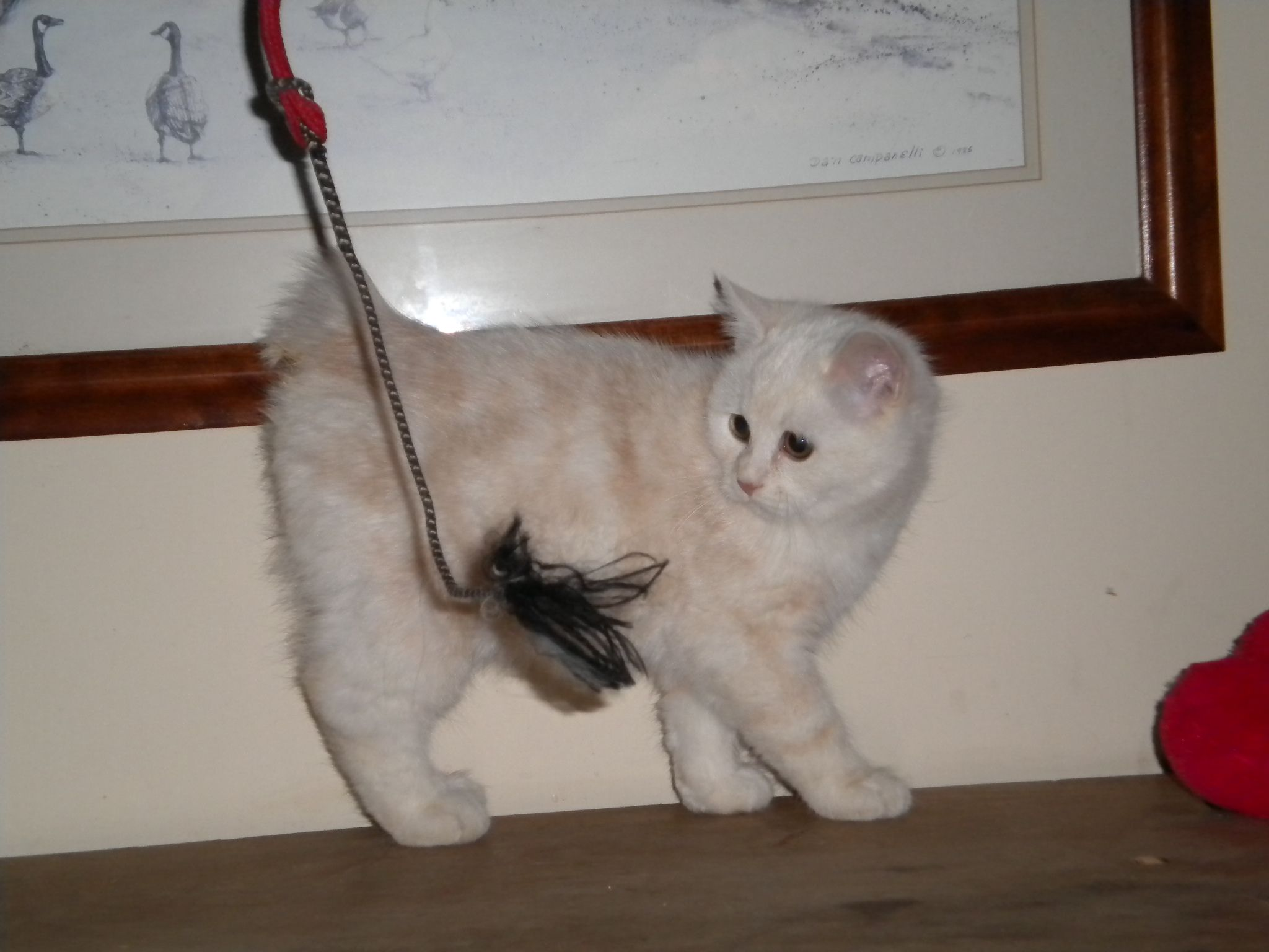 Manx Cats Manx Kittens Manxstation Com Manx Kittens Manx Cat I Love Cats