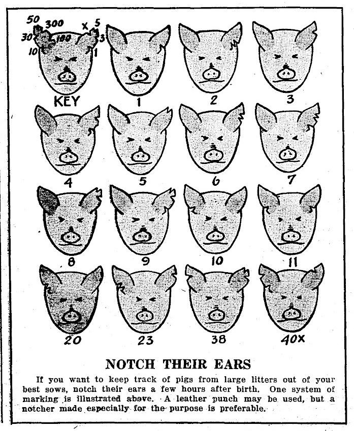 Pig ear notching ear notch diagram 4 h pinterest pig ears ccuart Gallery