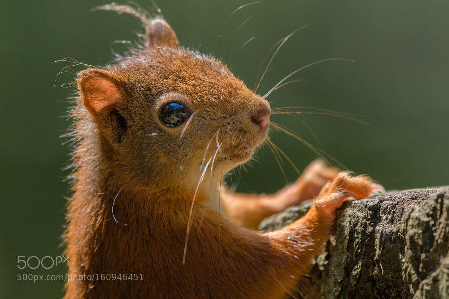 Red squirrel closeup by Richard_Guijt via http//ift.tt