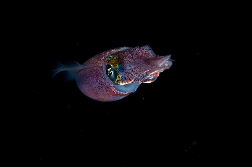 Squid, night dive Molokini D800 60mm lens, Nauticam Housing
