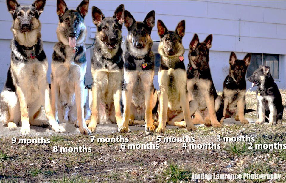 Growth Of A Shepherd Dog Obedience Dogs German Shepherd Puppies