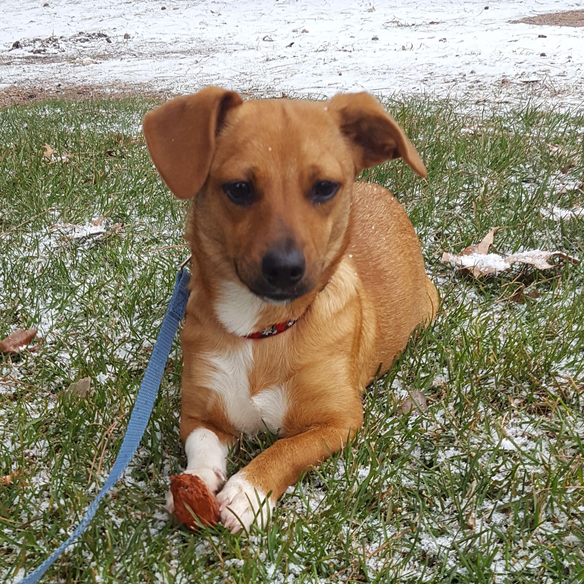 Chiweenie dog for Adoption in St. Louis Park, MN. ADN