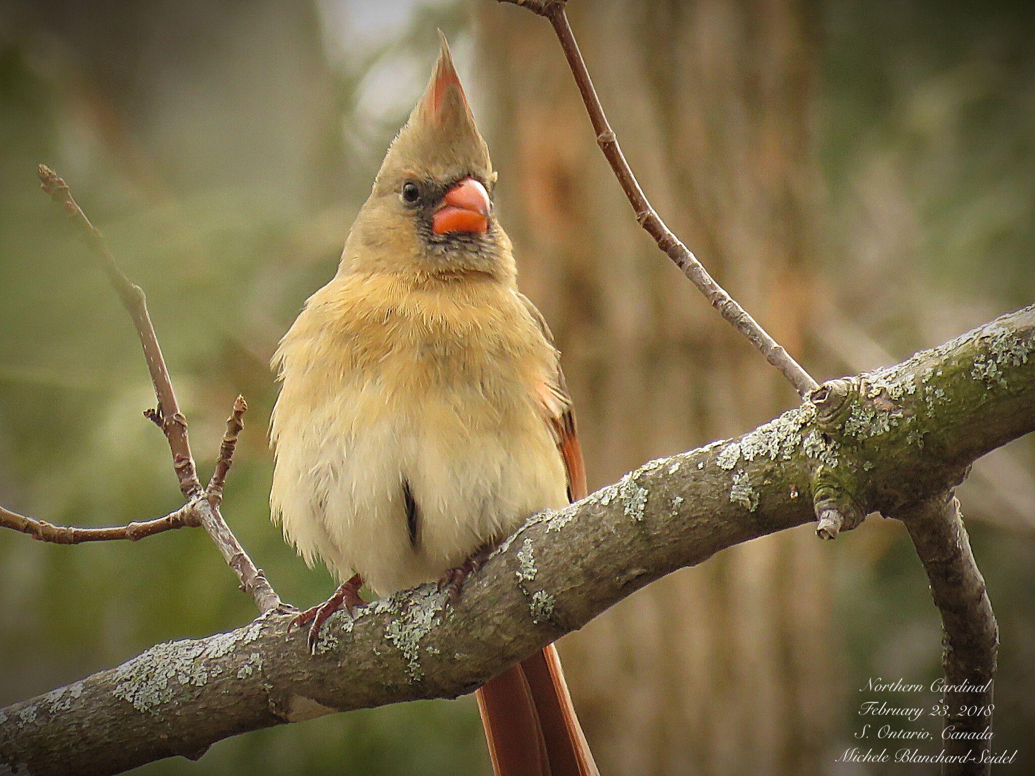 Baju Cardinal