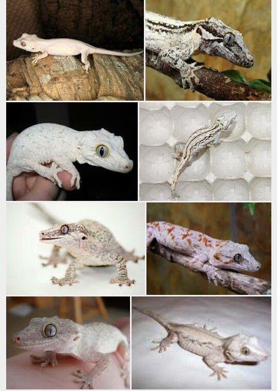 White gargoyle geckos | Other | Pinterest | Reptiles, Anfibios y Me ...
