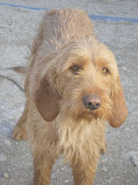 Griffon Fauve De Bretagne Werkhonden Honden Teckel
