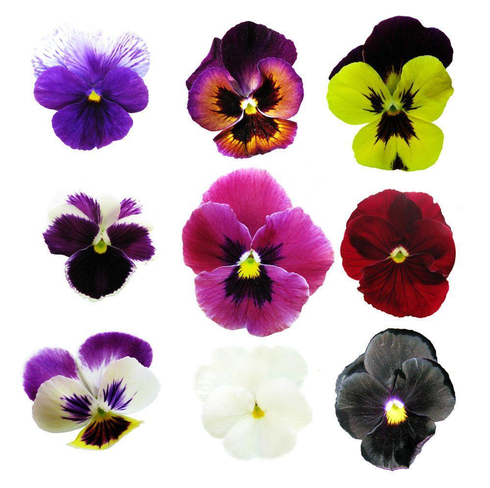 Edible Flower Garden Seeds Collection 9 Types Bonus Edible Flower Garden Edible Flowers Pansies Flowers
