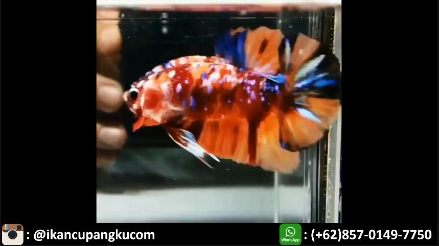 Jual Ikan Cupang Di Jakarta Ikan Cupang Ikan