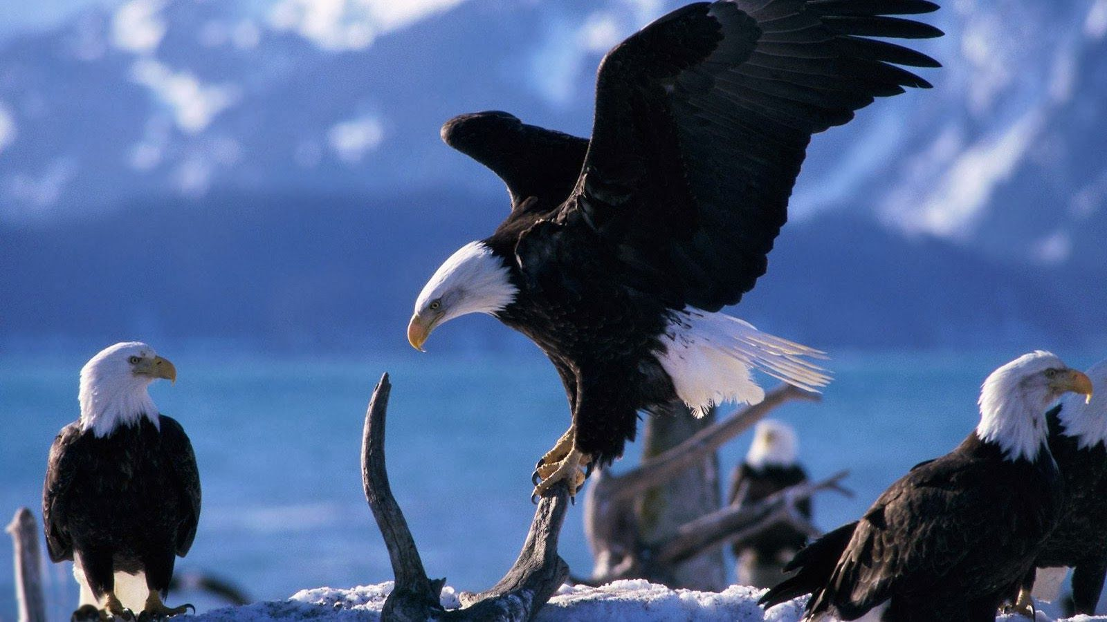 Eagles Wallpaper Collection 1600×900 Eagle Wallpapers Free