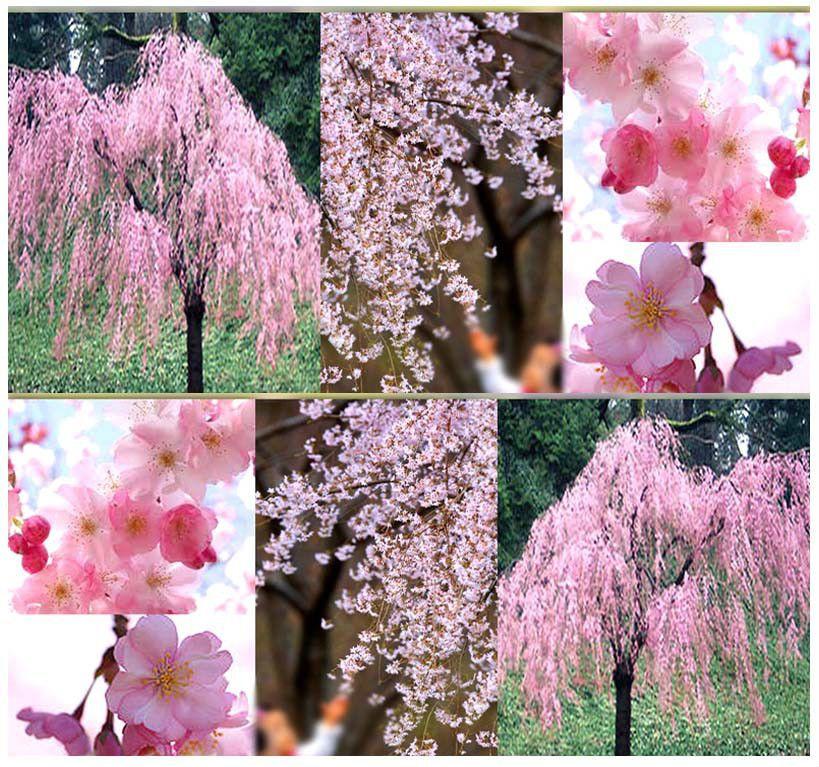 1000x1000 Jpg 819 767 Pixels Weeping Cherry Tree Flowering Trees Japanese Cherry Tree